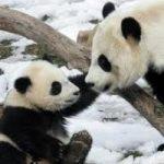 Eccezionale, negli Usa e' nato un panda
