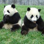 Cina, panda partorisce due cuccioli. E' il quarto parto gemellare