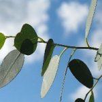 Sicilia, energia rinnovabile dagli eucalipti