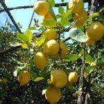Il prodotto piu' esportato del made in Italy? Il bergamotto calabrese batte l'olio pugliese e il vin...