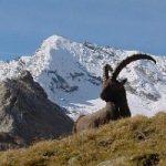 Il Gran Paradiso si diploma nuovamente tra le eccellenze naturalistiche d'Europa