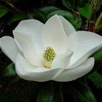 Bellezza naturale. Alla brillantezza dei capelli ci pensa la magnolia