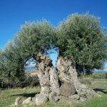 L'ulivo secolare di Puglia si candida all'Unesco