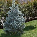 Gli alberi d'Italia/2 L' abete bianco