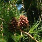 Alberi d'Italia/4 Il Larice, l'albero delle Alpi italiane