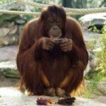 Un orango si annoia e gli danno l'Ipad