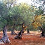 Adotta un ulivo, 8260 alberi pugliesi cercano casa