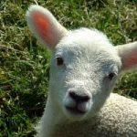 E' giusto mangiare l'agnello a Pasqua? Si infiamma il dibattito tra vegetariani e tradizionalisti
