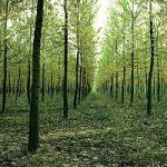 Biomasse, a Cossato l'energia si ricava dai pioppi