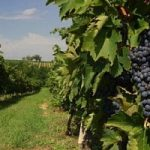 Un vino green: unico ingrediente e' l'uva