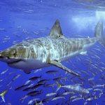 Cervello squalo simile a quello umano. Nuove possibilita' di difesa