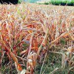 Agricoltura e siccita': il caldo record distrugge il raccolto