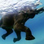 Animali. Anche gli elefanti nuotano