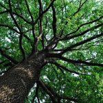 A Milano tutelati 1017 alberi di valore monumentale