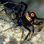 Animali, la vedova marrone spodesta la vedova nera