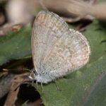 Dopo Fukushima: le farfalle non hanno più le ali