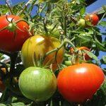 I pomodori non hanno piu' sapore: ecco il perche'