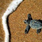In Salento sono nate 16 tartarughe Caretta caretta