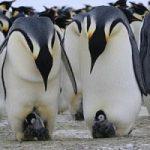 Scoperte nuove popolazioni di pinguini imperatore