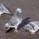 Il guano dei piccioni si trasforma in sapone, per pulire le citta'