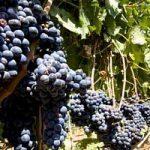 Addio vino Italiano, a causa dei cambiamenti climatici