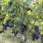I cambiamenti climatici minacciano il vino