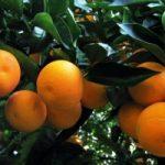 Usa: agrumeti a rischio, causa malattia incurabile