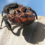 Anche i ragni maschi divorano il partner dopo l'accoppiamento