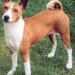 Il cane che non abbaia: ecco il basenji