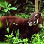 Avvistato il Saola, un mammifero raro