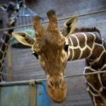 Copenaghen: lo zoo aveva il diritto di uccidere Marius?