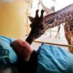 Animali: il bacio d'addio della giraffa al suo custode