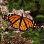Ambiente: le farfalle monarca si orientano anche con il magnetismo terrestre