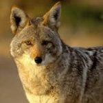 Il dipartimento dell'Agricoltura statunitense ha ucciso 4 milioni di animali selvatici