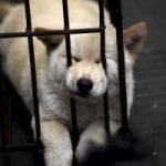 In Cina stanno per uccidere e mangiare 10.000 cani