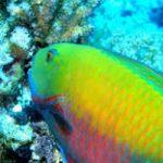 Il pesce pappagallo potrebbe salvare i coralli