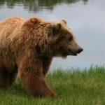 Alla ricerca dello yeti. Ma scienziati scoprono una nuova specie di orso