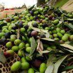 Olio: nasce a Roma L'oleoteca italiana