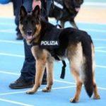 Cani poliziotto: 2 pastori tedeschi in pensione cercano casa