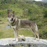 I lupi dominano le Alpi