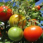 Estate piovosa: danni ad agricoltura e turismo