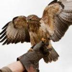 Un giorno da falconiere a Civitella del Tronto