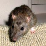 Casoria: topi nella scuola dei bambini. Rimandato inizio delle lezioni