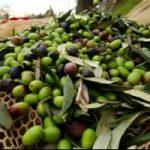 Olio: in Toscana allunamento della produzione