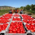 Alimentazione: agricoltura in crisi con pomodori e nocciole