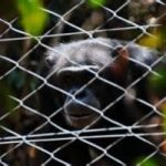 Sierra Leone. Ebola assedia anche il Santuario degli Scimpanzè