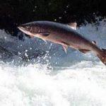 Salmoni salvi, grazie a pesci sensori