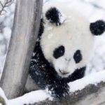 Ma cosa fa questo panda? Il video