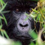 Animali in via di estinzione: a rischio il 41% degli anfibi e il 26% dei mammferi