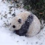 Il panda Bao Bao scopre la neve. Video